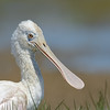 Roseate Spoonbill - 1st year