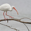 White Ibis on branch