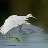 Snowy Egret in flight, juvenile