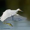 Snowy Egret in flight, juvenile