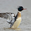 Red-breasted Merganser wing flap