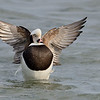 Long-tailed Duck drake, wingflap