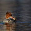 Common Merganser hen preening