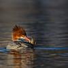 Common Merganser hen preening