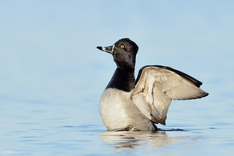 Ring-necked Duck drake, wingflap