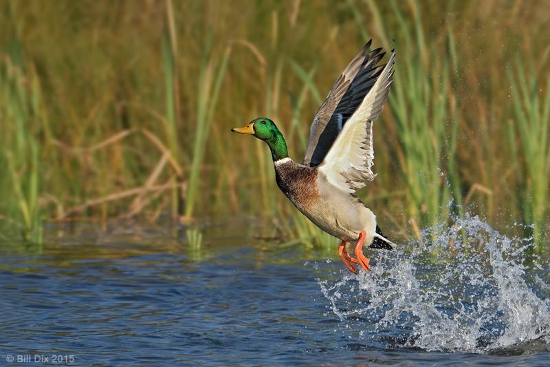 Mallard Drake take-off