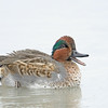 Green-winged Teal drake, molting
