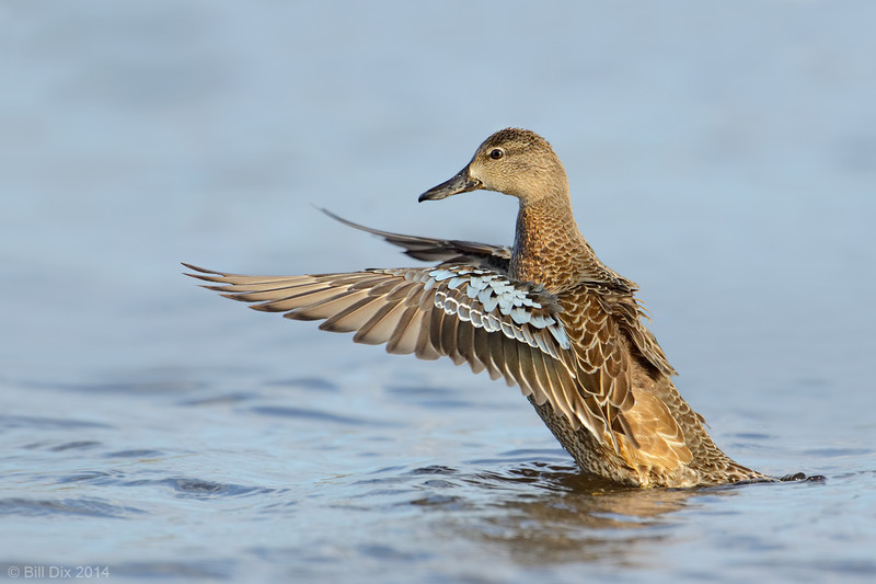 Blue-winged Teal hen wingflap