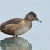 Ring-necked Duck hen