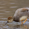 Gadwall drake on ice
