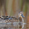 Blue-winged Teal hen