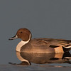 Northern Pintail drake at sunset
