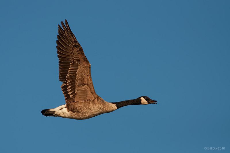 Canada Goose in flight
