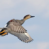 Gadwall Drake in flight