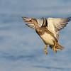 Gadwall Hen takeoff
