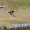 Mottled Duck pair in flight