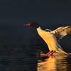 Common Merganser drake, landing
