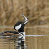 Hooded Merganser drake with fish