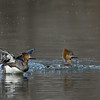 Hooded Merganser hens, splashdown