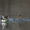 Hooded Merganser hens, splashdown