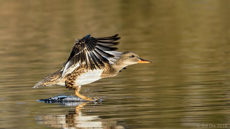 Gadwall Hen landing
