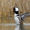 Hooded Merganser drake wingflap