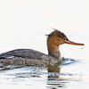 Red-breasted Merganser hen