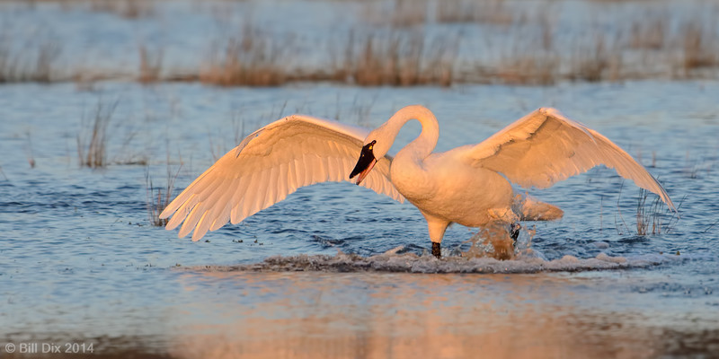 Tundra Swan display
