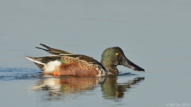 Northern Shoveler drake, molting