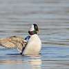 Bufflehead wingflap
