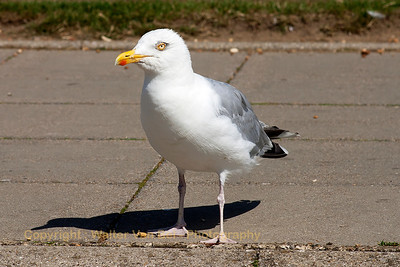 UK-Trip_Sea-gull_Hastings_20130818_CRW_3749_WVB_1200px