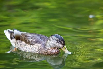 American Black Duck (Anas rubripes)