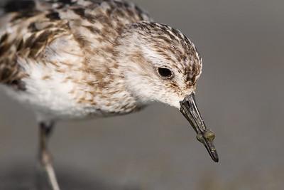 Semipalmated Sandpiper (Calidris pusilla)