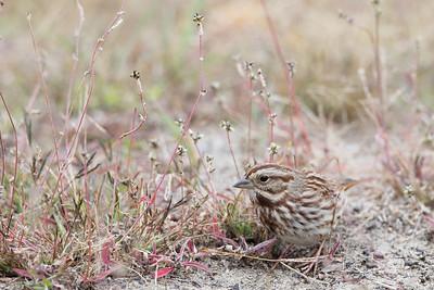 Song Sparrow (Melosoiza melodia)