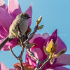 Bushtit in Chinese Magnolia