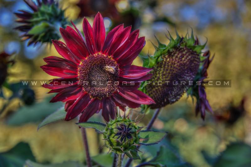 avila barn sunflowers 5659