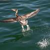 avila pelican 5053
