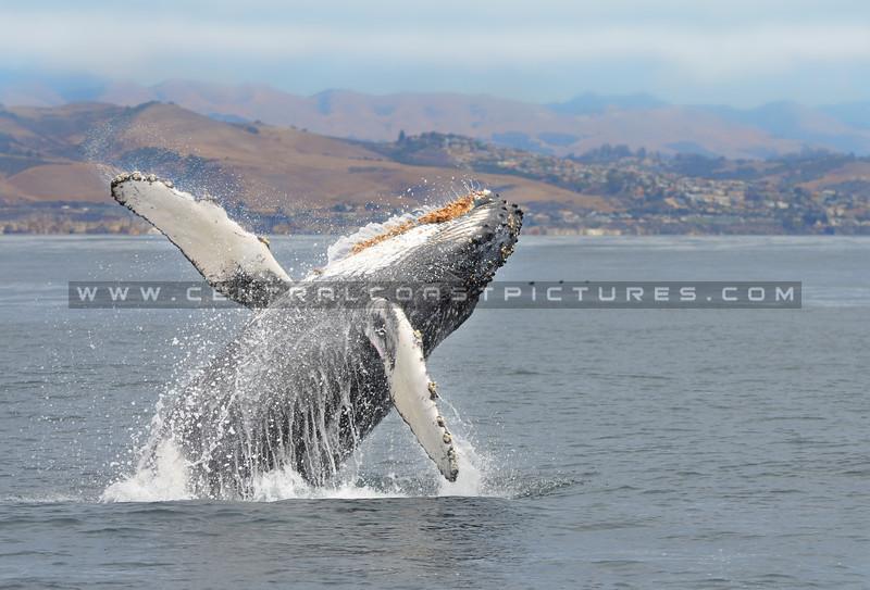 breaching-whale_1088
