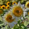 avila barn sunflowers 5712