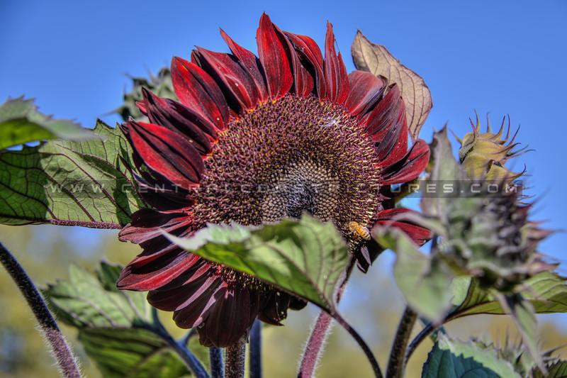 avila barn sunflowers 5727