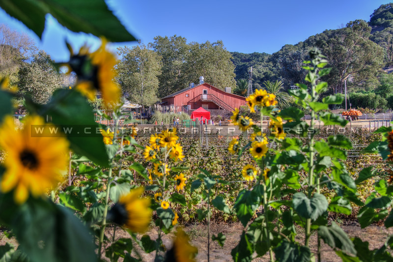 avila barn sunflowers 5665