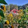 avila barn sunflowers 5665