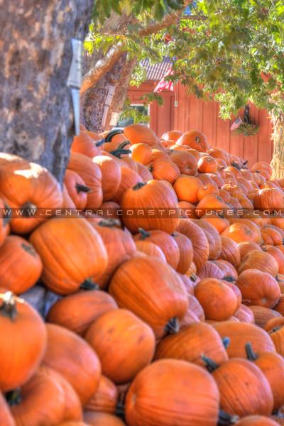 avila barn pumpkins 5748