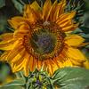 avila barn sunflowers 5636