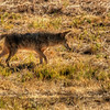 avila coyote 0270