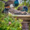peacocks fountain 2753