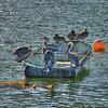 pelicans boat avila 7598
