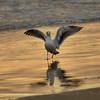 seagull 7181