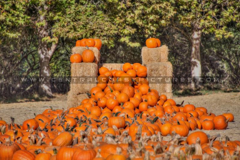 avila barn pumpkins 5632