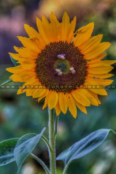avila barn sunflowers 5699